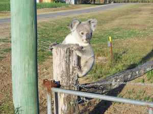 Mackay koala numbers in the spotlight at conservation meet