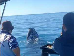 WATCH: Close encounter with whales off Mackay coast