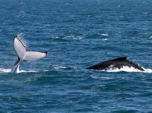 Stunning footage of whale populations off Mooloolaba