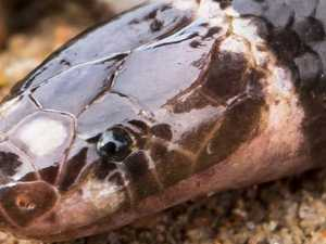 Scary new venomous snake discovered