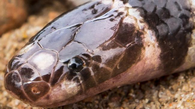 A new species of snake has been discovered in Weipa. Picture: Bryan Fry