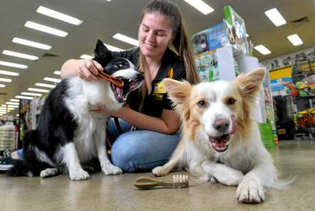 Rex and Khaleesi work on cleaning their teeth with Pet Barn Ipswich supervisor Mallory Jenkins.