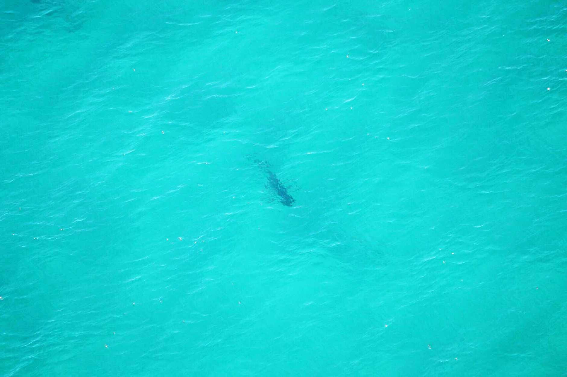 White shark spotted at Boambee Headland.