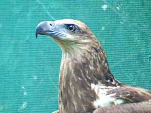 A long recovery, but there's hope for this magnificent sea-eagle