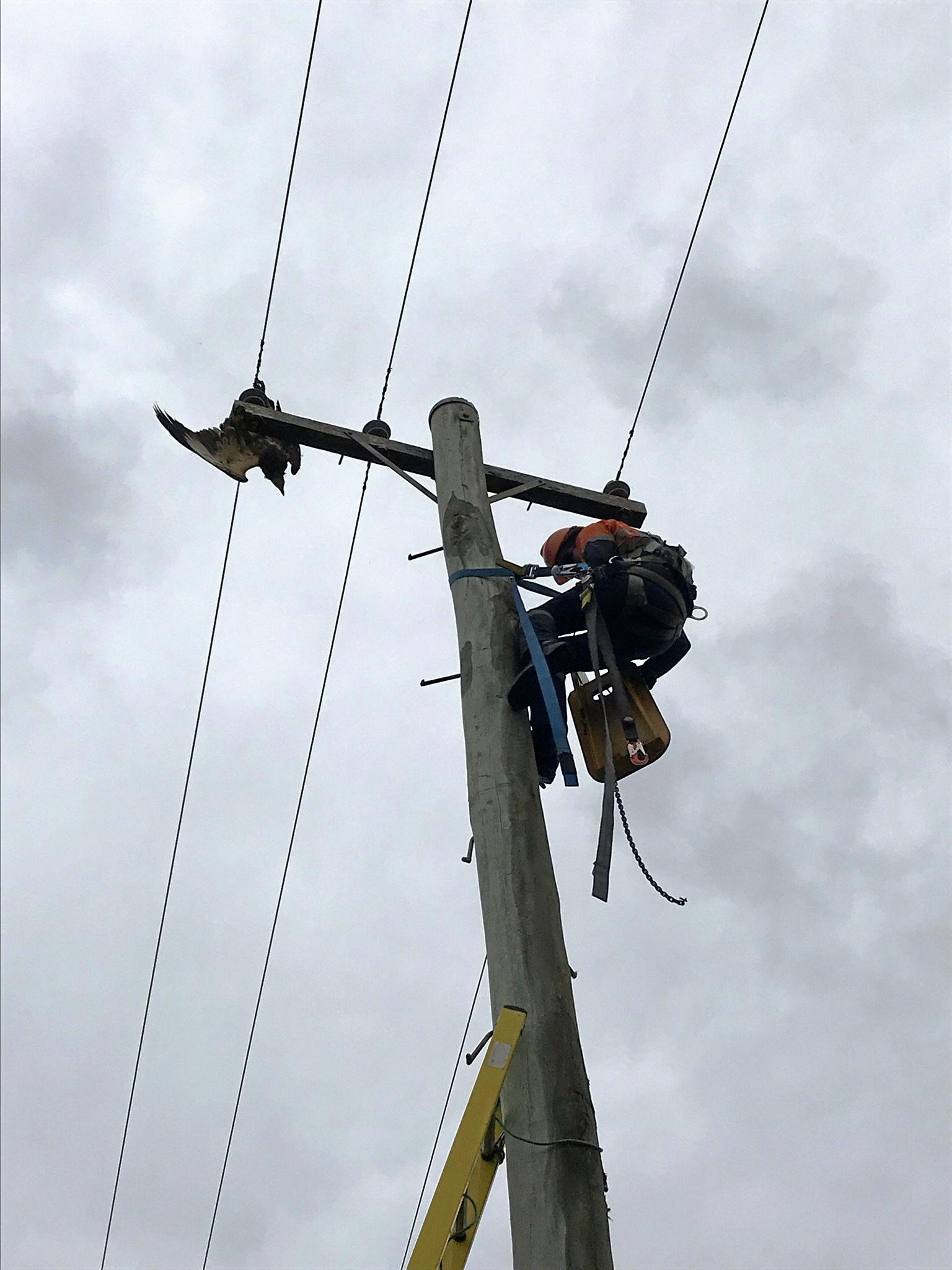 This white-bellied sea eagle has been in WIRES care after suffering burns from a power line.