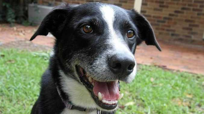 Border collie survives after having a 2.7kg tumour removed