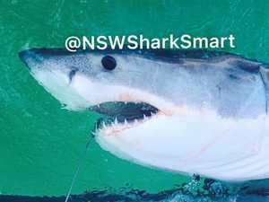 White sharks tagged at North Coast beaches