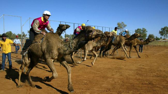 "The famous camel races at Boulia have been declared a ""sporting contingency"" so bookmakers can legally operate."