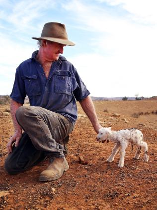One of the starved sheep on Les Jones' farm in Goolhi. Picture: Sam Ruttyn