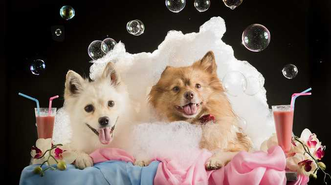 German Spitz's Eva and Bane getting pampered in a puppy bubble bath - part of a day spa treatment at Port Melbourne's Pet Hotel. Picture: Jason Edwards