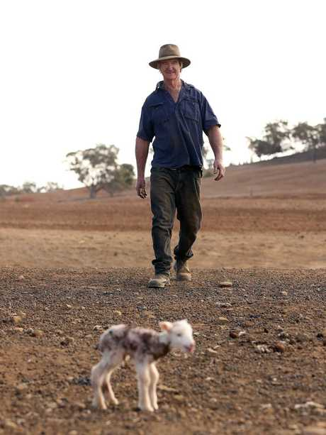 Mr Jones approaches a newborn lamb that has been abandoned. Picture: Sam Ruttyn