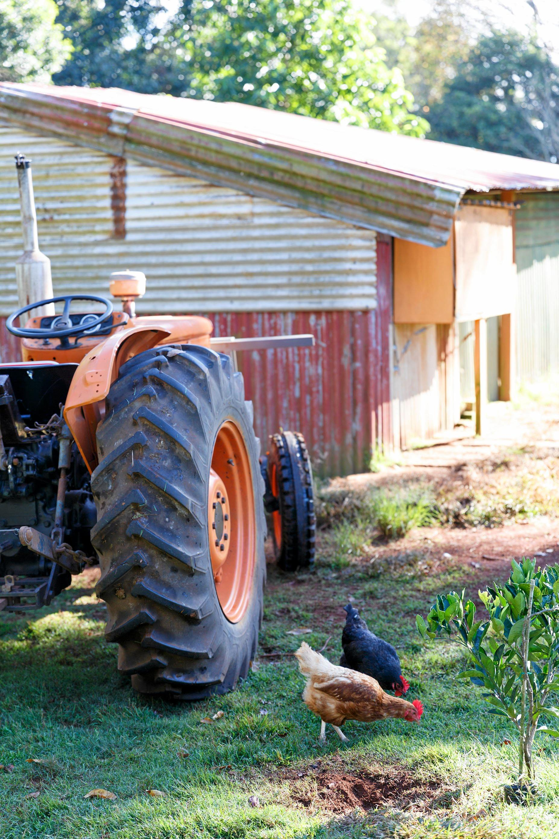 Chickens and tractor at Allamburra Organics. Photo by Christine Sharp