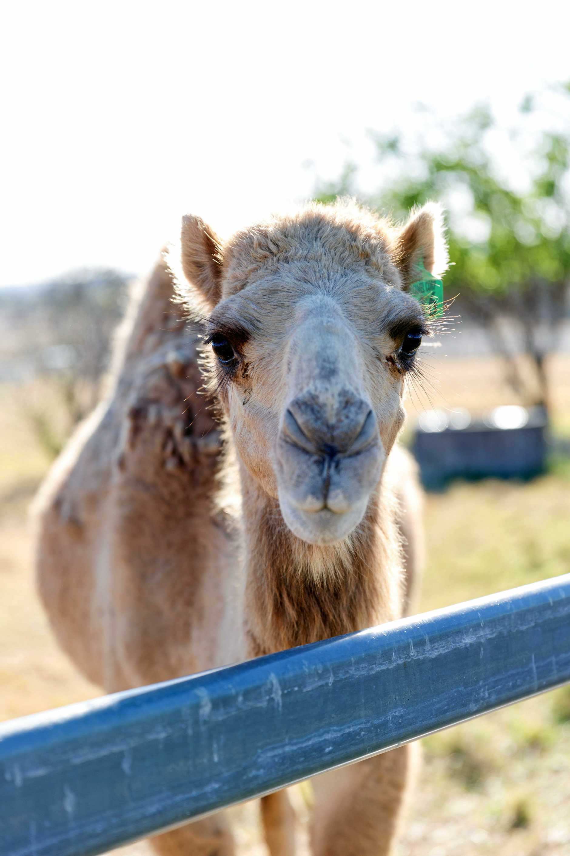ALWAYS HUMP DAY: One of the friendly herd at Summer Land Camel Farm.