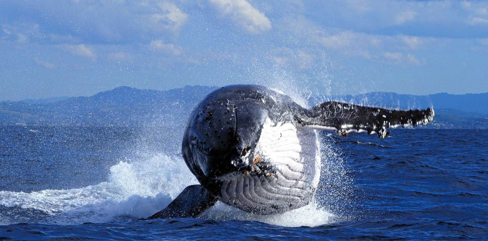 Whale watchers are asked to keep a lookout for whales entangled in ropes and bouys.