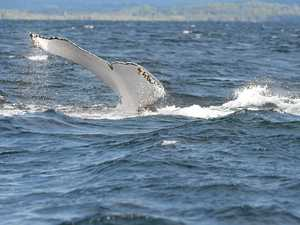 Urgent call to locate entangled whales off coast