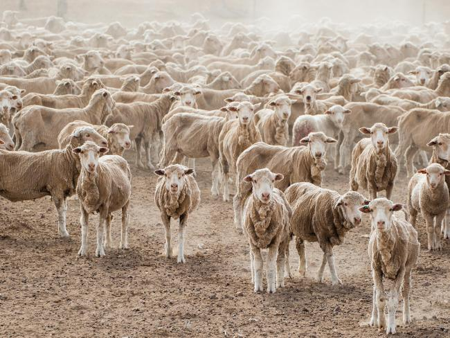 """Lisa Alexander's pic of sheep on her property: """"We've learned from the past, so you prepare for the worst and hope for the best."""""""
