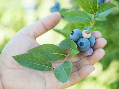 Doesn't matter which berries you love, they're all great for you. Picture: Zoe Phillips