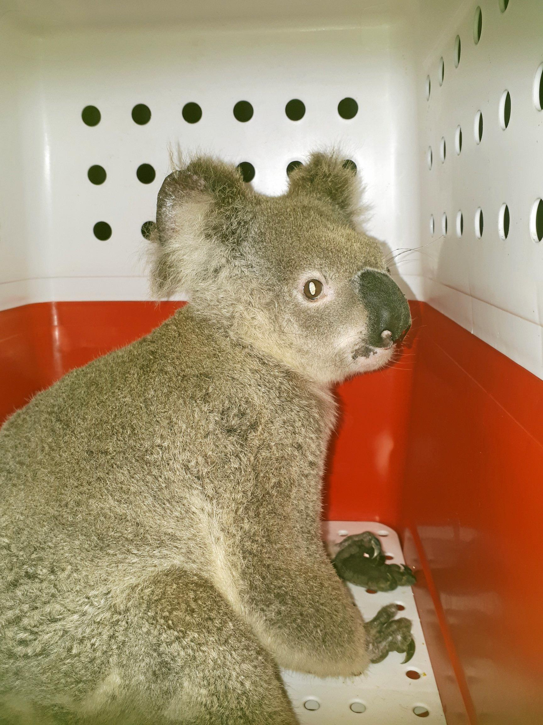 This road-struck koala died from critical injuries after Tracey rushed it to Australia Zoo in the middle of the night.