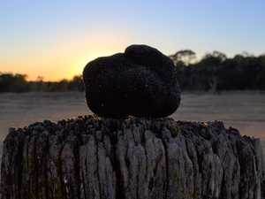 BLACK GOLD: Region hosts state's first truffle festival