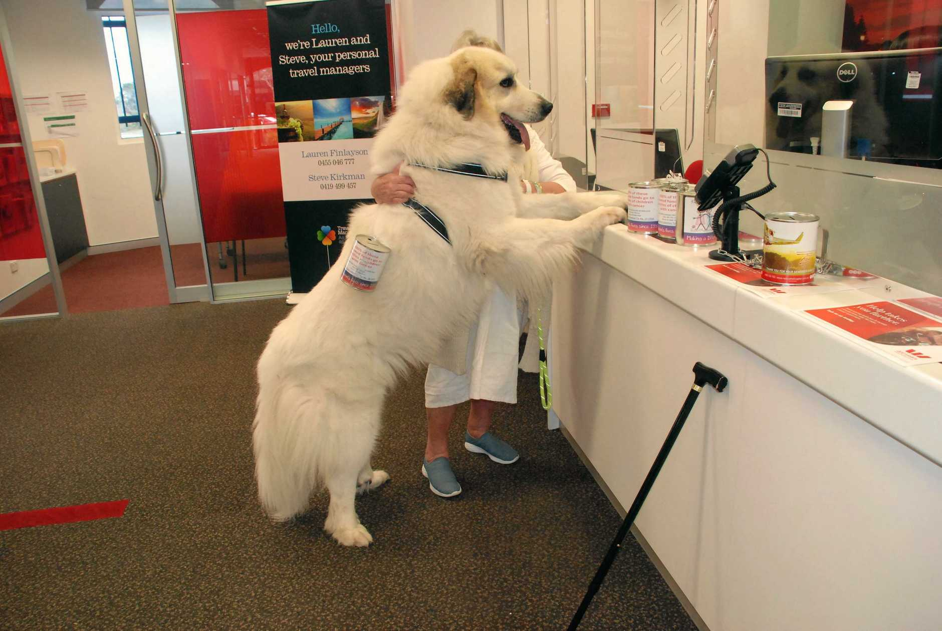 MIGHTY EFFORT: Aragorn, the Pyrenean mountain dog, raised more than $600 after his visit to Noosa.