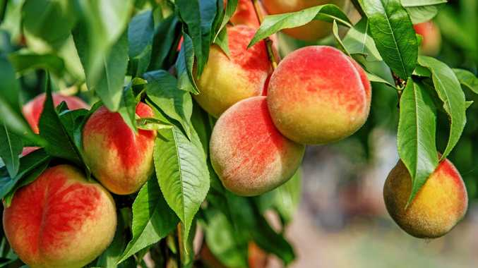 JUICY: Sweet peaches are great to have in the garden.