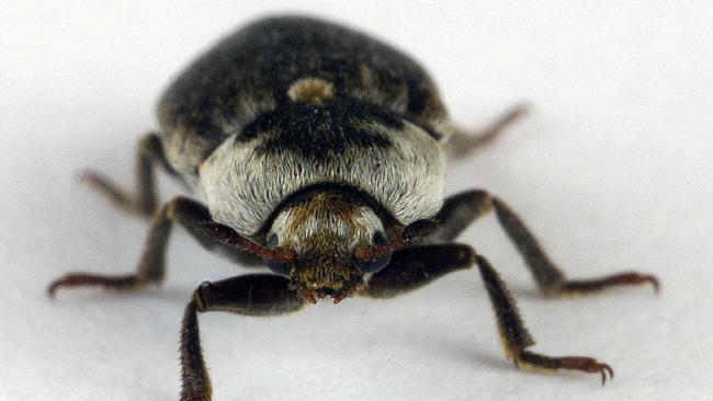 A flesh eating dermestid beetle.