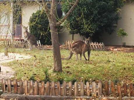 Simone Hackett snapped this picture of two roos in her front yard this month.