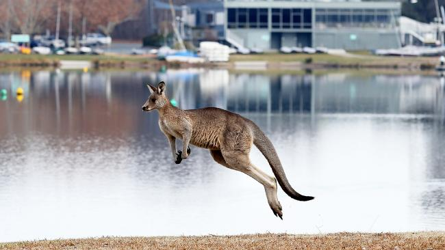 Kangaroos have even been spotted around Lake Burley Griffin in central Canberra. Picture: Kym Smith