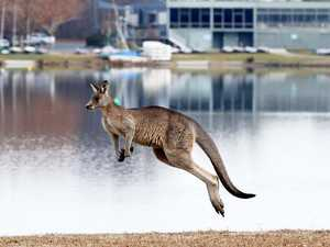 Kangaroos are invading this Aussie city