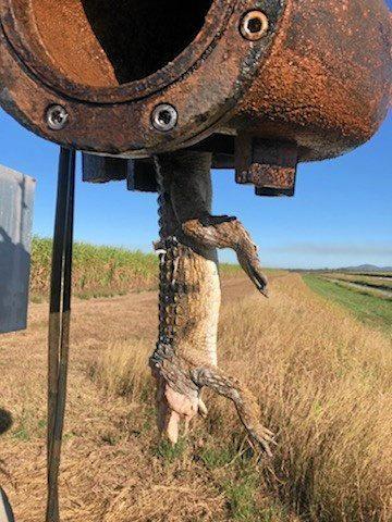 A shredded headless croc found in an irrigation pump at a property along the Burdekin river