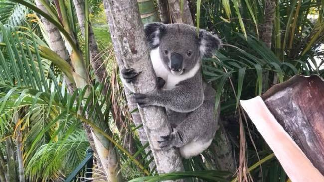 Carter the koala from Mt Gravatt East. Photo: Michelle Henry/Facebook