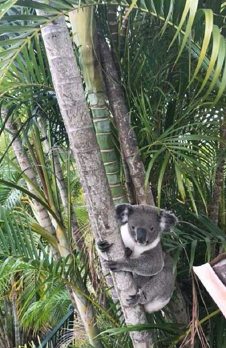 Carter the koala from Mt Gravatt East has died.