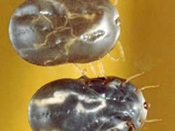 BLOATED: Engorged adult cattle ticks are moving your way
