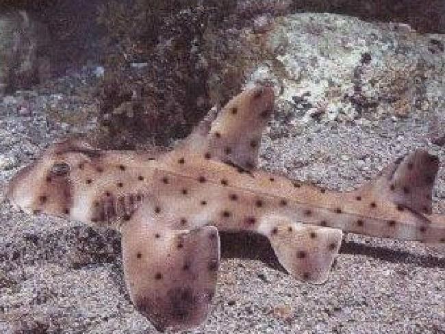 ... their target? Helen, a 46 centimetre horn shark. Picture: Faceboook/San Antonio Aquarium