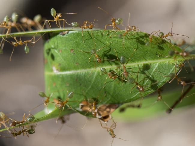 Green ants that taste like sherbet bombs