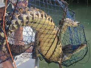 Fisho's shock at croc in crab pot