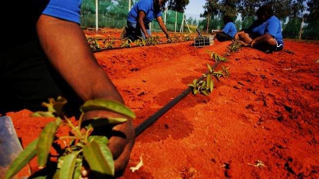 Indigenous trainees grow bush tomatoes north of Alice Springs
