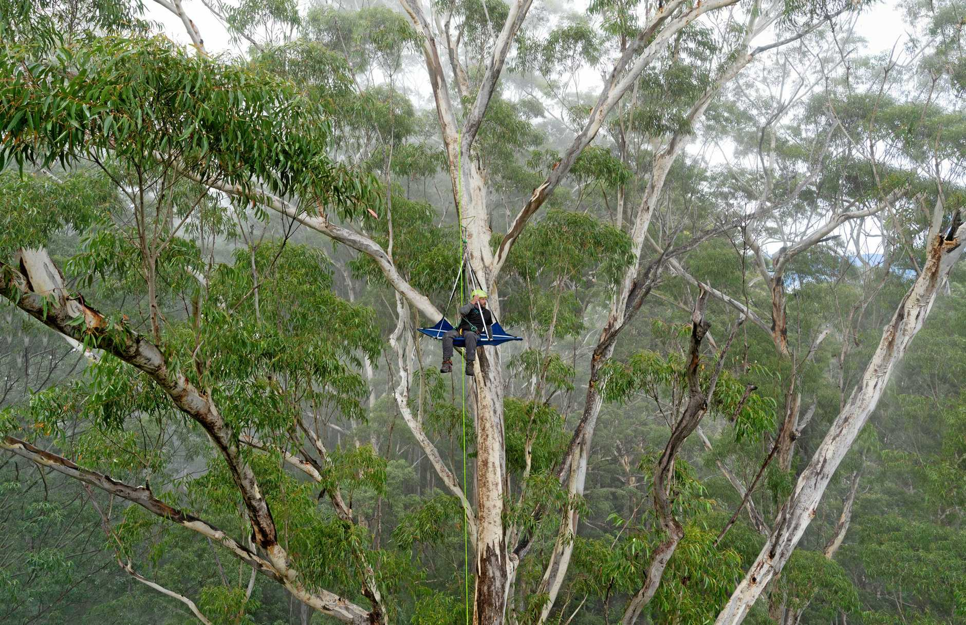 A renowned Tasmanian photographer has spent several painstaking days climbing great heights to capture the perfect image of a 250-year-old tree located near Bellingen, which is set to be logged under new laws.