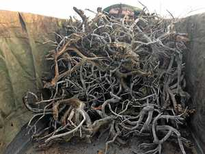 Photos of mangrove haul poached at Elliott River released