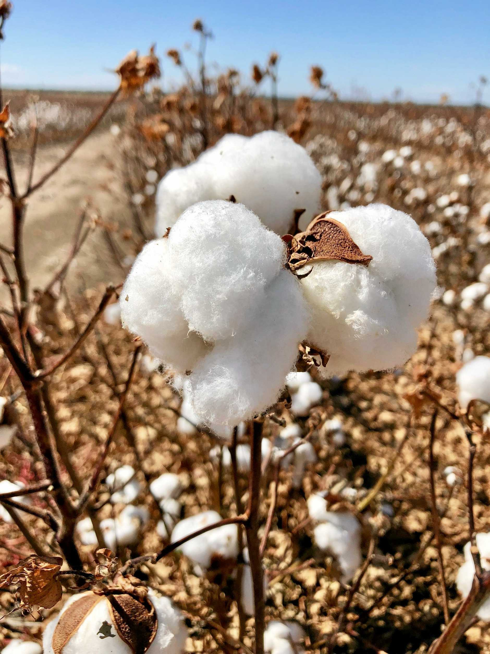 Page 13 Cotton industry A The dry weather allowed good defoliation of the cotton crop this year.