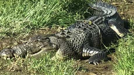 Hinchinbrook Shire Council Mayor Ramon Jayo photographed this crocodile from the cab of his tractor. Photo: Ramon Jayo
