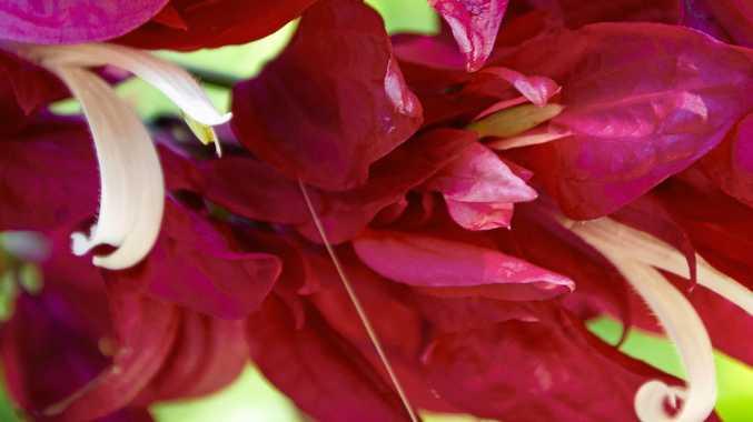 The curvy petals of Brazilian red cloak.