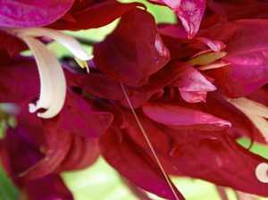 Brazilian beauty a versatile plant