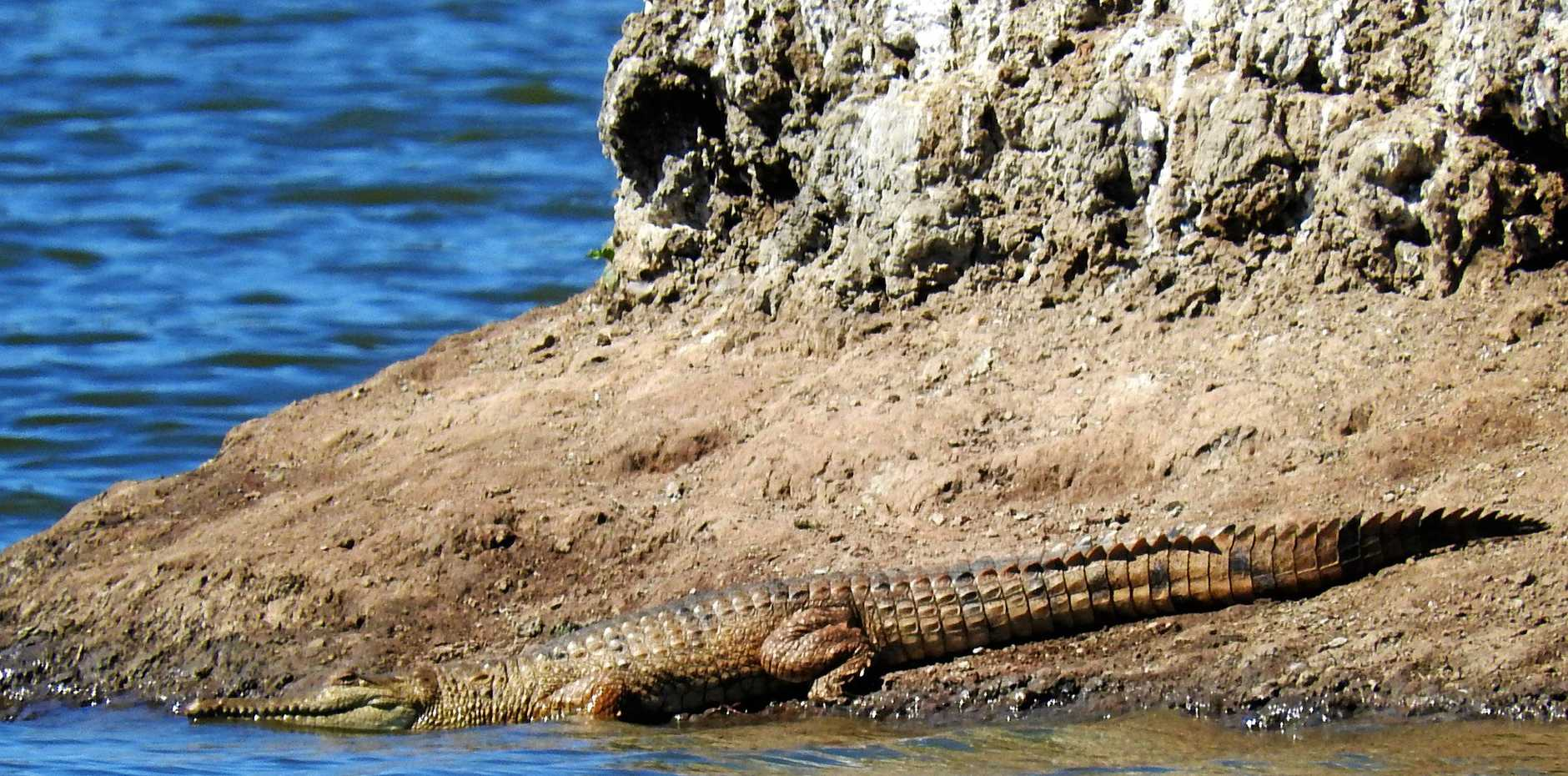 Here it is! The 1.5 metre croc spotted in Mullers Lagoon.