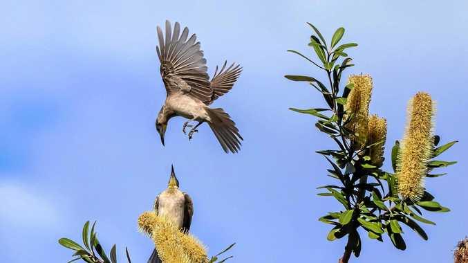 Little friar birds, Dundowran.
