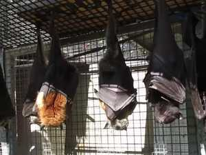 Bats Twirl in Sunlight Like 'Rotisserie' Display