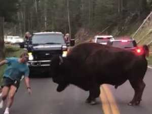 Man taunts huge bison, it doesn't go well