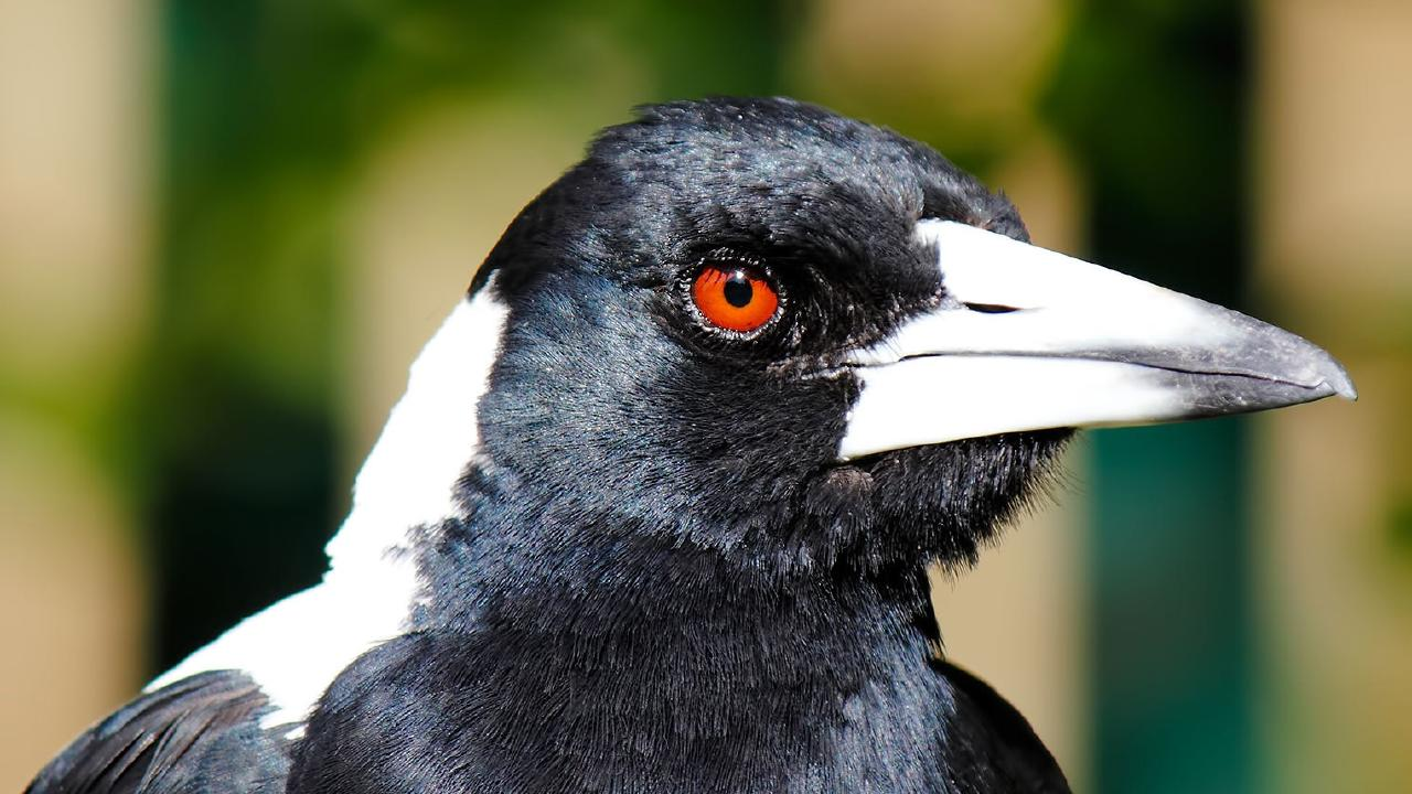 Authorities say the magpies were causing a risk to aircraft.
