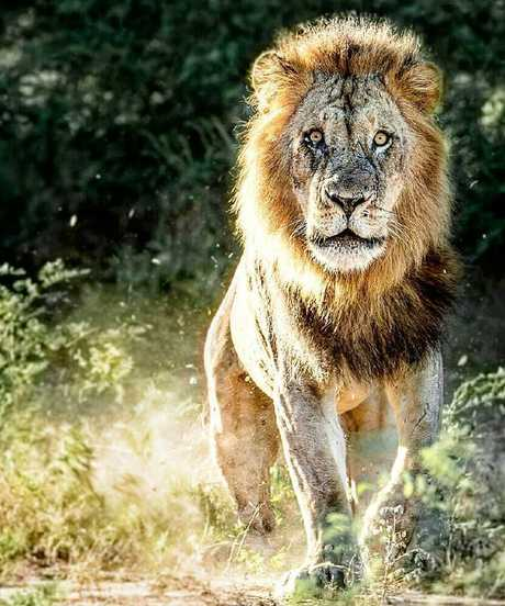 This was the lion that charged at Wallabies star David Pocock in Zimbabwe. Picture: David Pocock