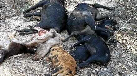 SHOOT TO KILL: The bodies of several wild pigs  were dumped at Wrights Rd, off of Old Wallangarra Rd.